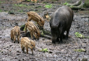 30 Jahre nach dem Reaktorunglück von Tschernobyl sind immer noch viele Wildschweine in Bayern radioaktiv belastet. By Dave Pape (Own work) [Public domain], via Wikimedia Commons