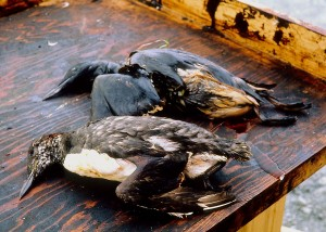 »Exxon Valdez«: Wildtiere waren von der Ölpest stark betroffen. - See page for author [Attribution], via Wikimedia Commons